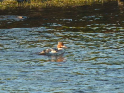 Goosander in his winter plumage.