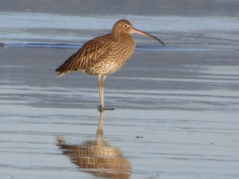 Some kind of Snipe or curlew maybe.