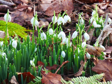 The first snowdrops I have seen this year. Lots and lots in the grounds.