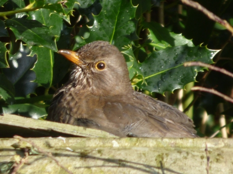 A thrush enjoying a bath.