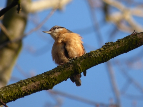 Beautiful Nuthatch.