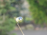Bluetit. I must say I quite like this photo. x