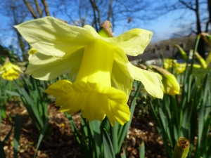 Daffodils are trumpeting.