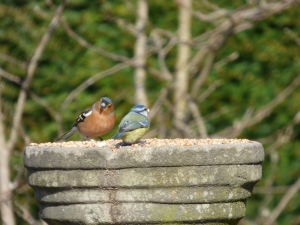 Feeding time. A chaffinch and a bluetit at the breakfast buffet.