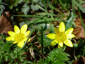 Peeking celandines. Soon the ground will be carpeted with them. :)