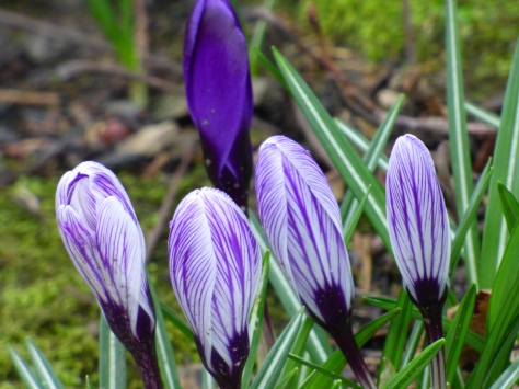 colourful crocus.