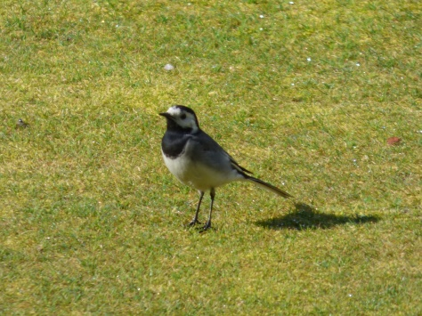 Pied wagtail on the bowling green.