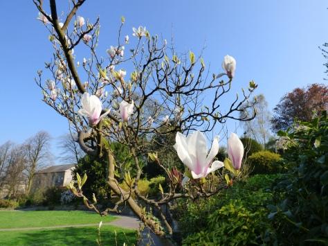 Flowering Magnolia.