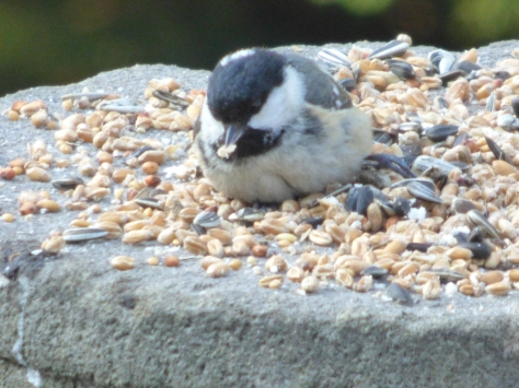 This Coal tit looks like he is drowning in food.