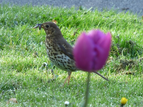 A thrush with her breakfast.