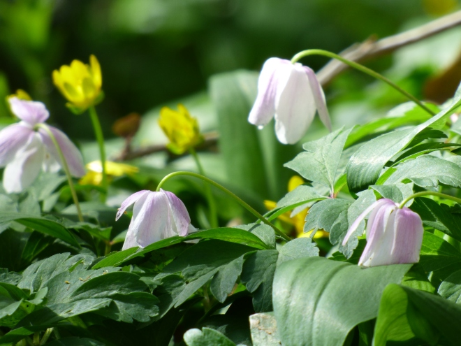 The delicate drooping flowers of the Wood anemone.