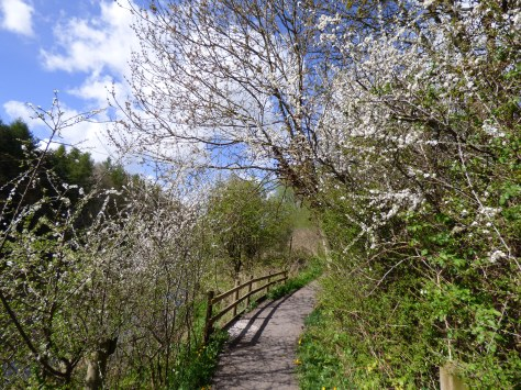 Blackthorn blossom.