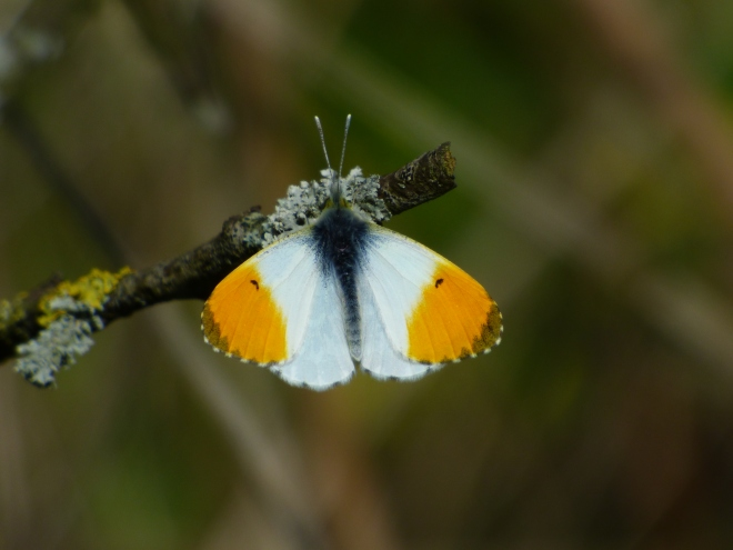 Orange tipped White butterfly. Gorgeous.:)