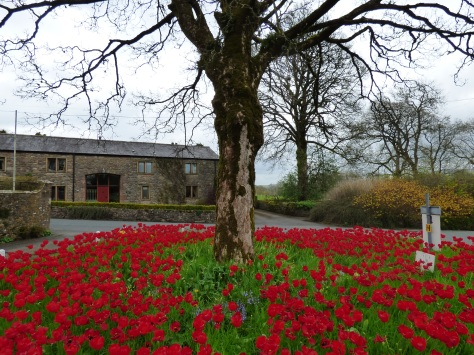 Tulips in Newton in Bowland.