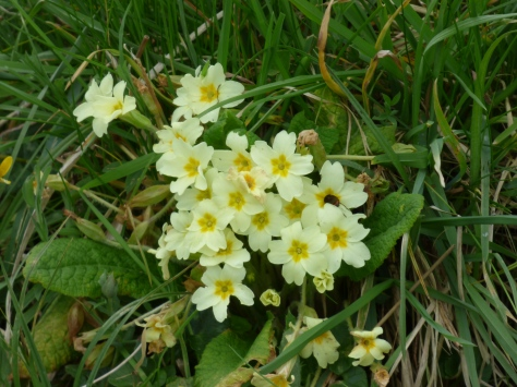 a clump of primroses.