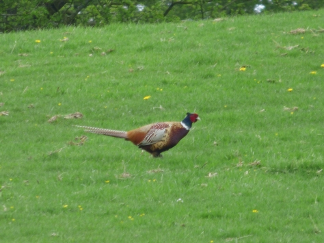 Saw several pheasants. If you know about Hugo's pheasant eating history you know this was scary for us!!