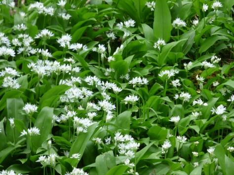 Wild garlic. The leaves have a mild garlic flavour.