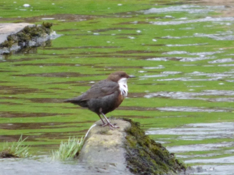 One of my favourite water birds, the white bibbed Dipper. :)