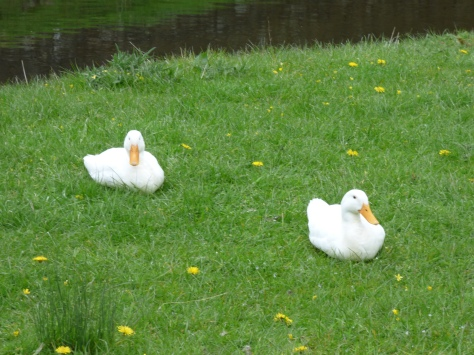 Snoozy white ducks.