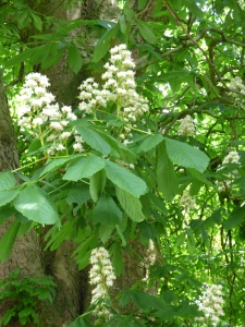 Horsechestnut blossom.