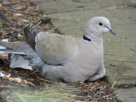 Collared dove.