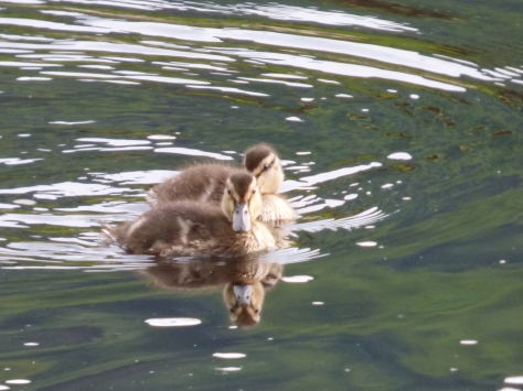 Cute ducklings. :)