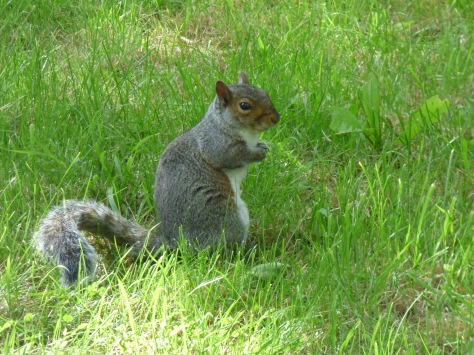 Grey Squirrel.