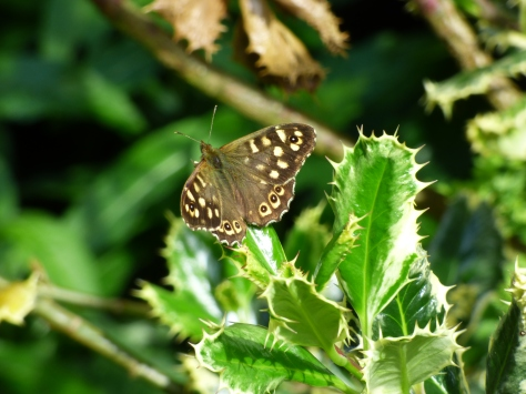 Speckled Brown. I have not seen many butterflies  this summer yet.