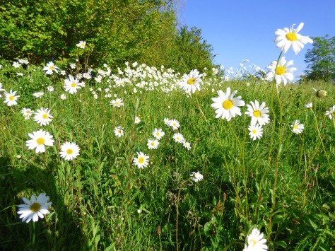 Ox Eye Daisies. And lots of them.