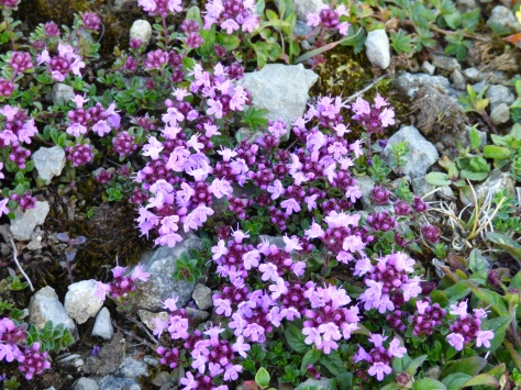 Some kind of Heather I think.