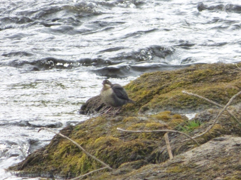 A bedraggled looking Dipper...I think.