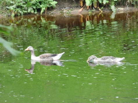 Greylag Geese.