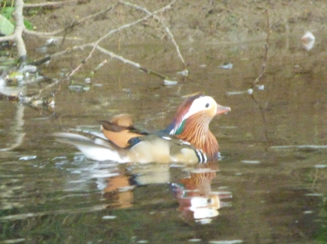 Saw two of these Mandarin ducks.