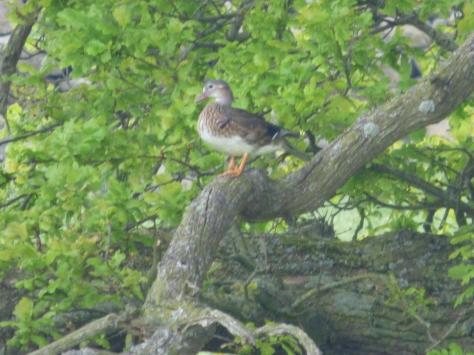 Mallard in a tree?