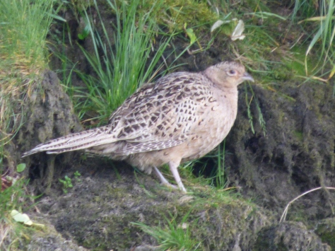 A female pheasant....I think.