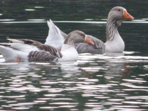 Greylag geese on the lake.