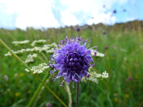 Gorgeous blue scabious.