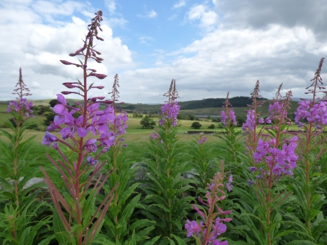Rosebay willowherb.