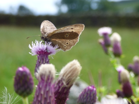 Brown Ringlet Butterfly.