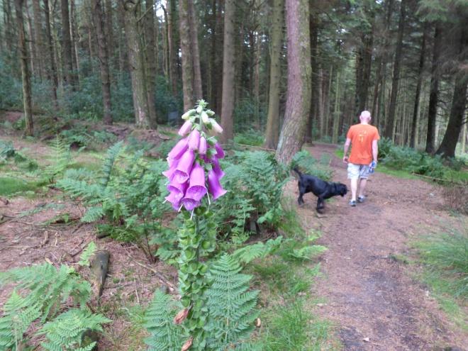 Foxglove in Aitken Wood.