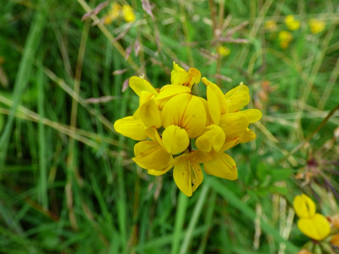 Meadow vetchling.