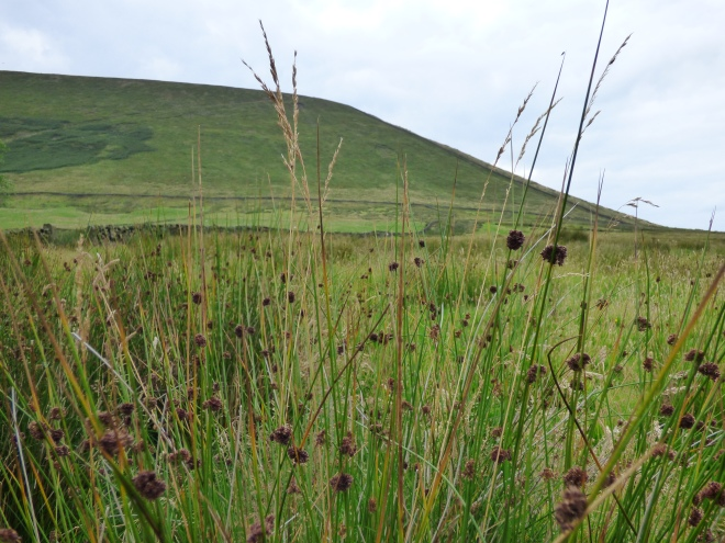 Pendle through the rushes.
