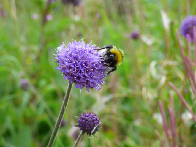Scabious are so beautiful.
