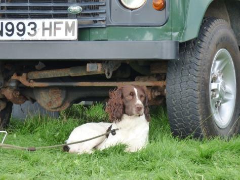 Resting Gun dog.