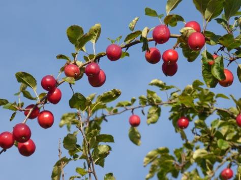 Rosy apples.