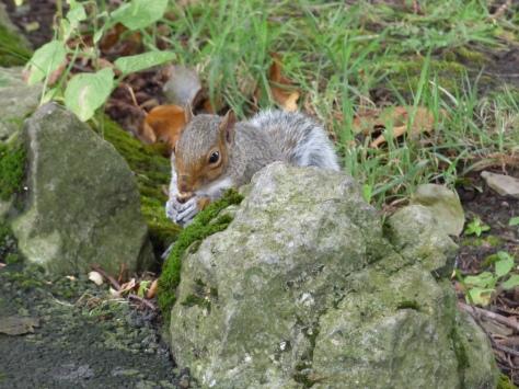 Grey Squirrel.