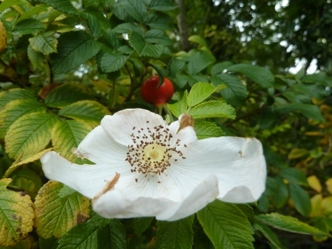 Dog Rose and Rose hips.