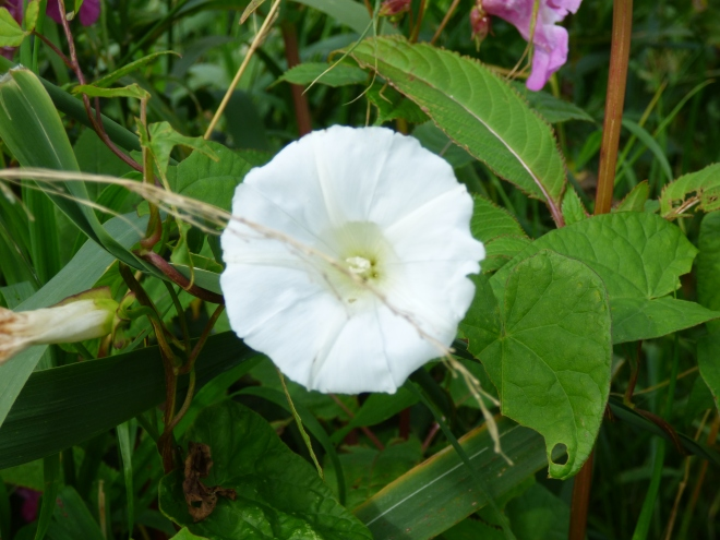 I love the papery white trumpets of the Bindweed.