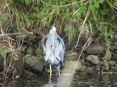 A bedraggled looking Heron.