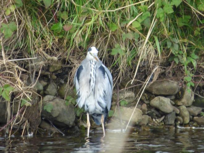 A bedraggled looking Heron.